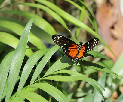 Butterfly, Orange Spotted, Insect, Green Leafs, Nature