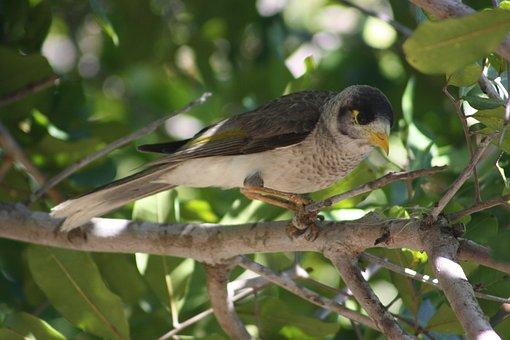 Noisy Miner, Bird, Brisbane, Wildlife, Fauna, Nature