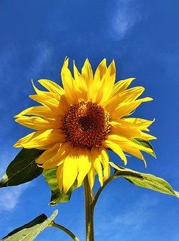 Sunflower, Sky, Beautiful, Blossom, Bloom, Charming