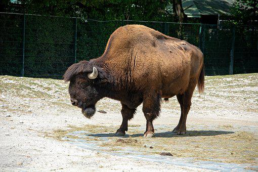 Bison, Animal, Mammal, Strong, Brown, Massive