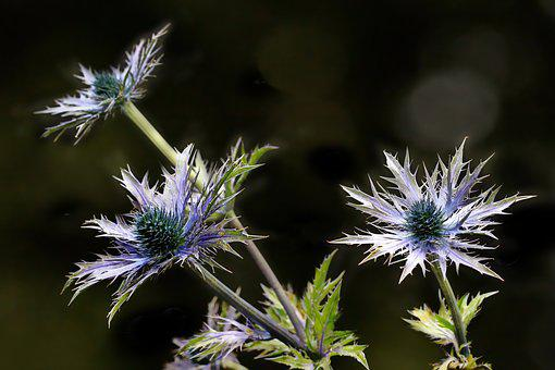 Thistle, Flower, Plant, Nature, Summer, Prickly