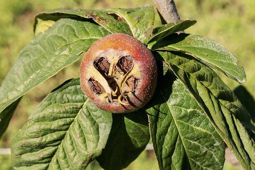 Medlar, Fruit, Wood, Nature, Garden, Edible, Stone