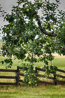 Apple, Apple Tree, Fruit, Garden, Fence