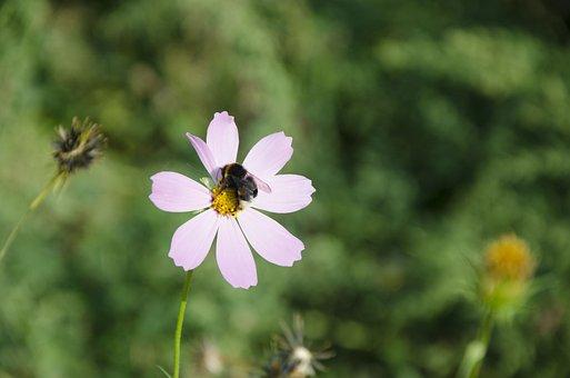 Bee, Flower, Summer, Kosmeya Dayparty, Garden Cosmos