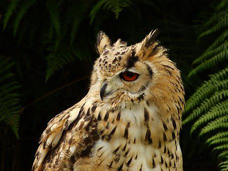 Eagle Owl, Bird Of Prey, Bird, Owl, Feather, Plumage