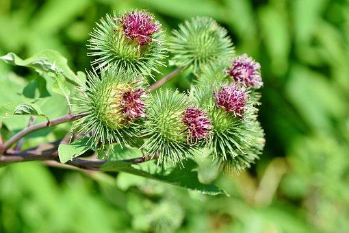 Great Burdock, Burdock, Arctium Lappa, Prickly, Plant