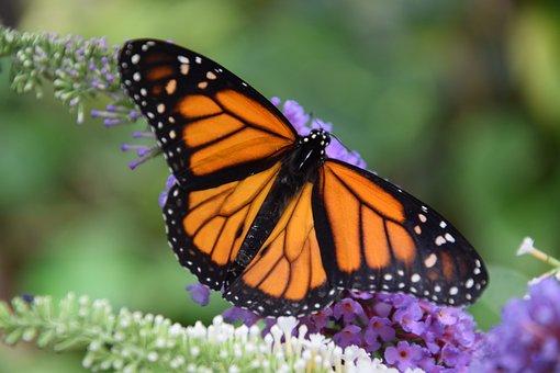Butterfly, Monarch, Black, Orange, Casa Delle Farfalle