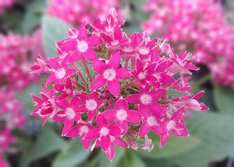 Pen Style, Chickweed, Pentas Lanceolata, Pink Flower