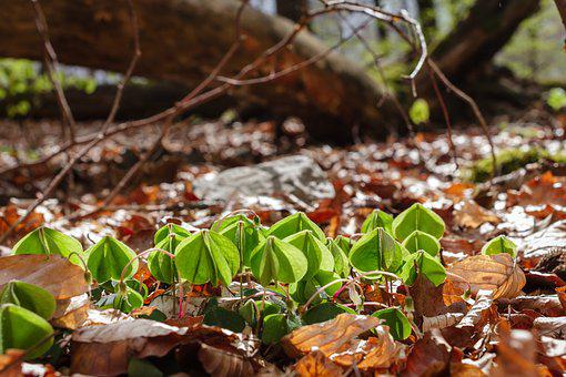 Common Wood Sorrel, Leaves, Forest, Forest Floor