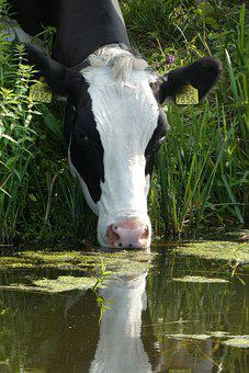 Cow, Drinking, Ditch, Meadow, Cattle, Farm, Grassland