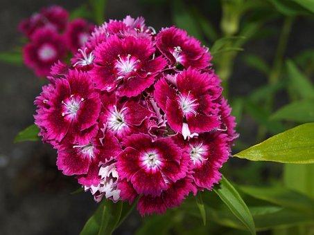 Carnation Chinese, Flower Carnation, Flowers