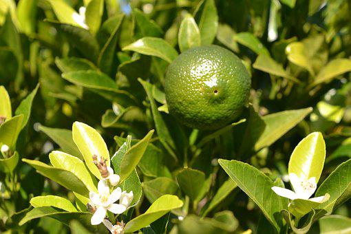 Orange Tree, Fruit, Flower, Tree, Citrus, Plant, Nature