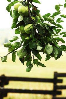 Apple, Branch, Apple Tree, Fruit, Garden, Fence