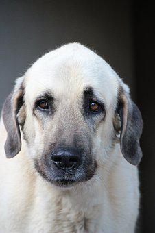 Kangal, Herd Protection Dog, Guard Dog, Purebred Dog