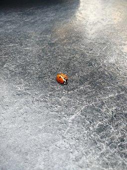 Bug, Ladybug, Insect, Red, Black, Nature, Fauna
