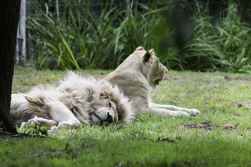 Lion, Rest Of The Time, Lazy, Nature, Big Cat