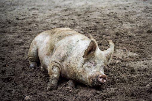 Pig, Sow, Animal, Boar, Mammal, Livestock, Dirty, Mud