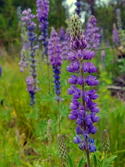 Lupine, Mountains, Wildflowers, Meadow, Bloom, Blossom