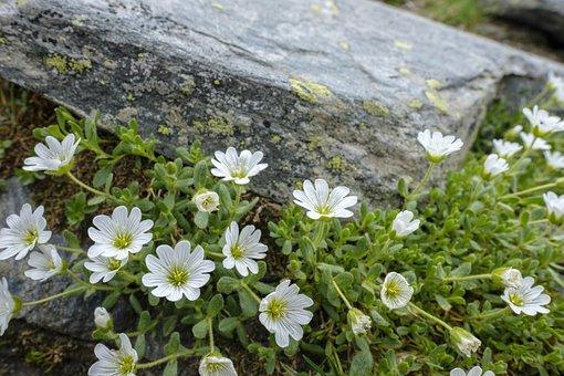 Mouse Ear, Einblütige Hornwort, Einblüten-hornwort