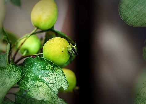 Berries, Wild, Fruit, Nature, Plant, Fresh, Green