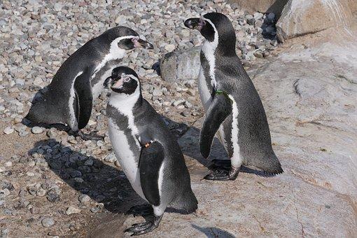 Animal, Penguin, Donkey Penguin, Nature