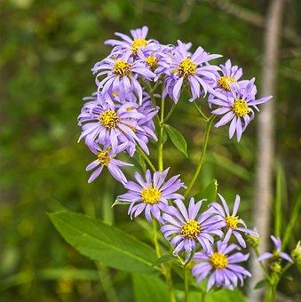 Showy Purple Aster, Wildflower, Flora, Nature