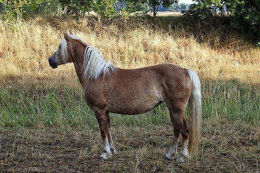 Horse, Haflinger, Animal, Pasture, Mammal