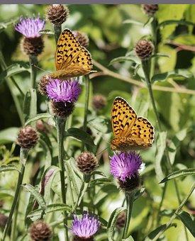 Butterflies, Pearl, Niobe, Statistics, Fabriciana Niobe