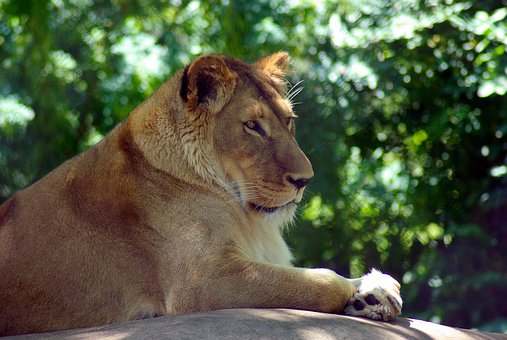 Madison Zoo Lion, Lion, Cat, Animal, Predator, Portrait