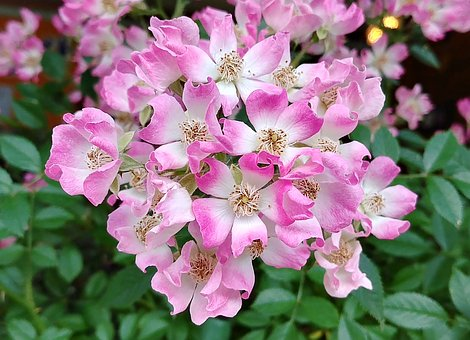 Rose, Rose Vine, Cream Pink Note Mozart, Cream Pink