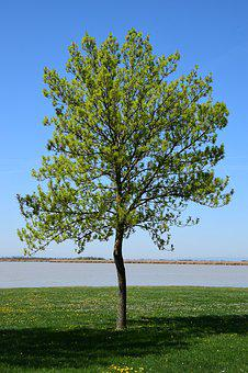 Single Tree On The Zicksee, Deciduous Tree, A Tree