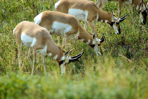 South Dakota Antelope, Antelope, Pronghorn, Grass