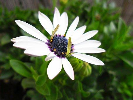 Spanish Margriet, Flowers, Toxic, Purple Heart