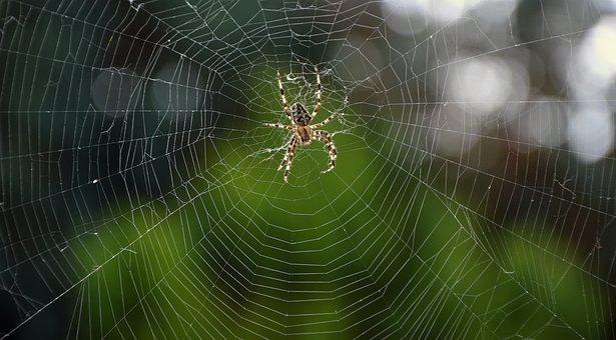Spider, Araneus, Wheel Spider, Web Spider, Cobweb