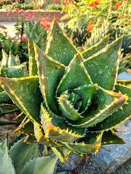 Aloe Vera, Plant, Outdoors, Green, Succulent, Dew