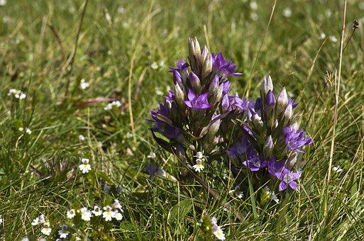 Gentian, Flower, Purple, Alpine, Alpine Plant