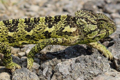 Chameleon, Animal, Nature, Reptile