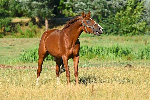 Horse, Animal, Mammal, Equine, Standing, Neighing