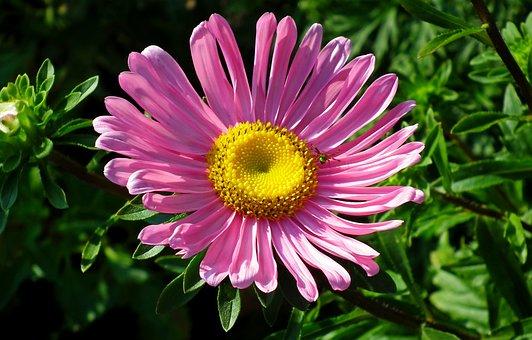 Aster, Flower, Pink, Garden, Nature, Summer, The Petals