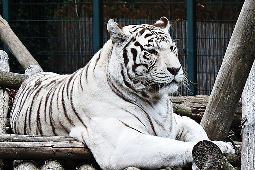 Tiger, White, White-tiger, Predator, Dangerous, Big Cat