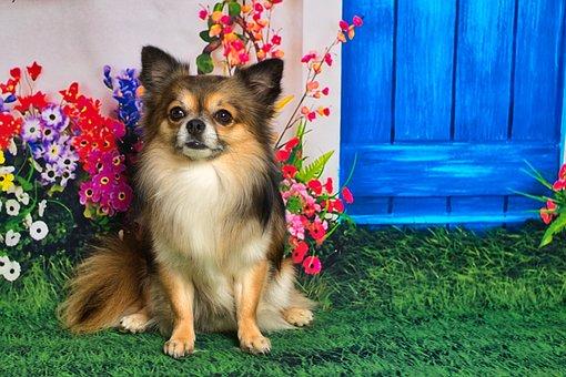 Chihuahua, Small, Cute, Race, Chiwawa, Charming, Hairy