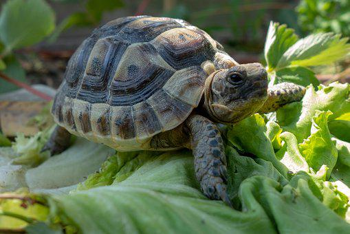 Turtles, Testudines, Chelonians, Reptiles, Carapace