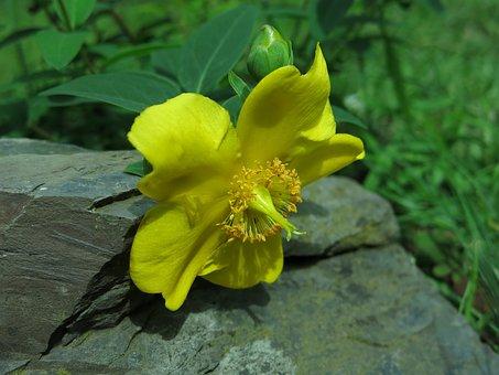 St John's Wort, Blaze, Plant, Nature, Close Up, Yellow