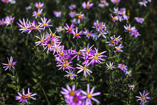 Mountain Asters, Mountain, Country, Purple, Color