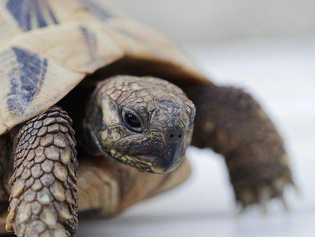 Greek Tortoise, Animals, Reptile, Zoo, Creature, Slowly