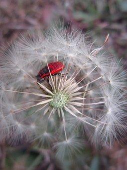 Firebug, Fire Bug, Pyrrhocoris Apterus, Hemiptera, Red