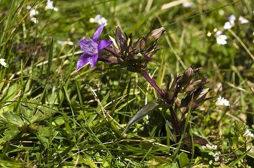 Gentian, Flower, Purple, Alpine, Tyrol, Alpine Plant