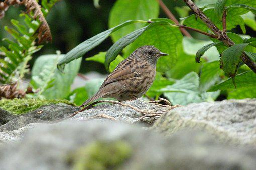 Bird, Dunnock, Brown, Garden, For, Foraging