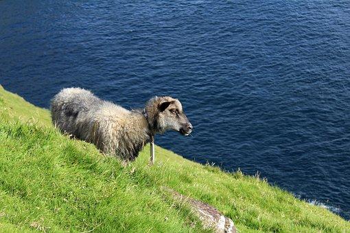 Faroese Sheep, Sheep, Mountain Side, Faroe Islands