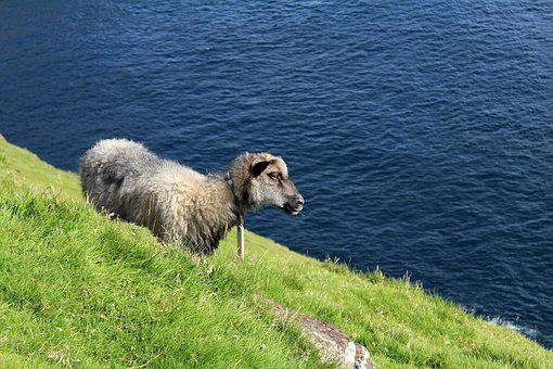 Faroese Sheep, Sheep, Mountain Side, Faroe Islands